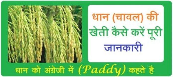 धान (चावल) की खेती कैसे करें