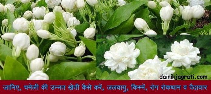 चमेली की खेती (Jasmine farming)