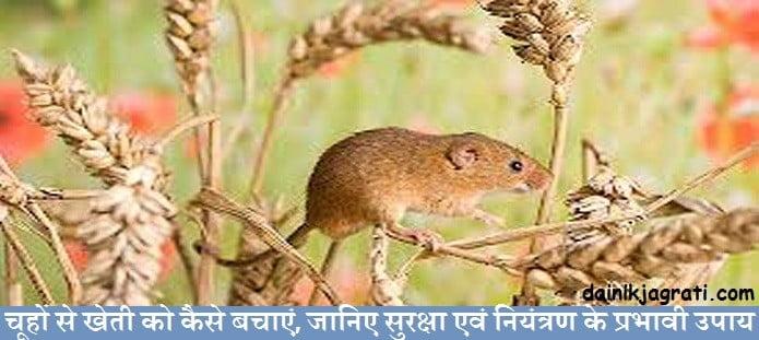 चूहों से खेती को कैसे बचाएं