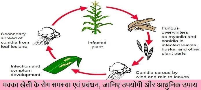 मक्का खेती के रोग समस्या एवं प्रबंधन, जानिए उपयोगी और आधुनिक उपाय