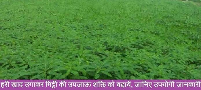 हरी खाद उगाकर मिट्टी की उपजाऊ शक्ति को बढ़ायें, जानिए उपयोगी जानकारी