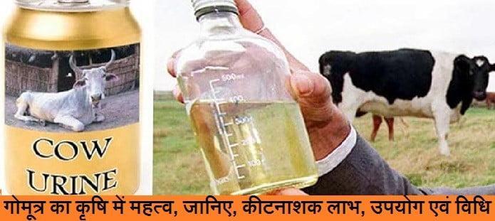 गोमूत्र का कृषि में महत्व, जानिए, कीटनाशक लाभ, उपयोग एवं विधि