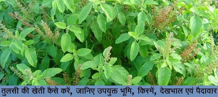 तुलसी की खेती कैसे करें, जानिए उपयुक्त भूमि, किस्में, देखभाल एवं पैदावार