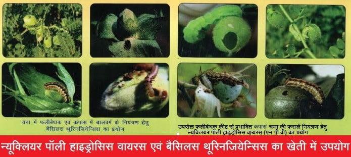 न्यूक्लियर पॉली हाइड्रोसिस वायरस एवं बैसिलस थूरिनजियेन्सिस का खेती में उपयोग