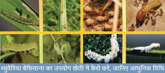ब्युवेरिया बेसियाना का उपयोग खेती में कैसे करें, जानिए आधुनिक विधि
