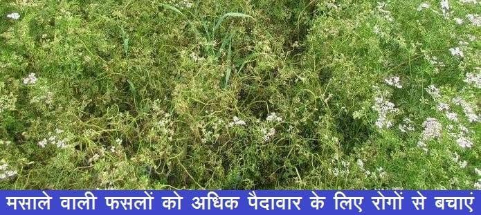 मसाले वाली फसलों को अधिक पैदावार के लिए रोगों से बचाएं