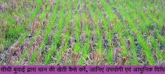 सीधी बुवाई द्वारा धान की खेती कैसे करें