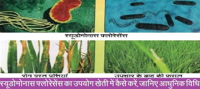 स्यूडोमोनास फ्लोरेसेंस का उपयोग खेती में कैसे करें, जानिए आधुनिक विधि