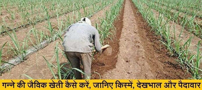 गन्ने की जैविक खेती