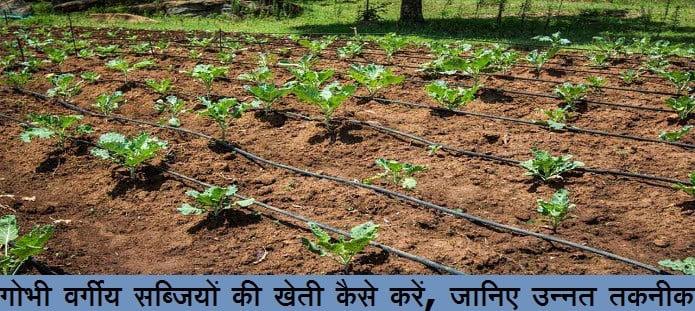 गोभी वर्गीय सब्जियों की खेती