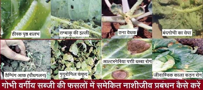 गोभी वर्गीय सब्जी की फसलों