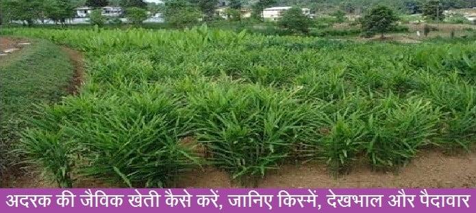 अदरक की जैविक खेती