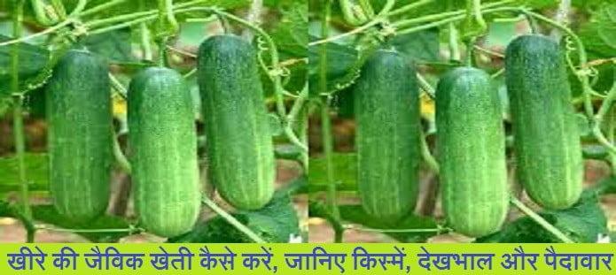 खीरे की जैविक खेती