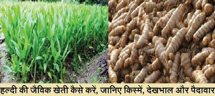 हल्दी की जैविक खेती